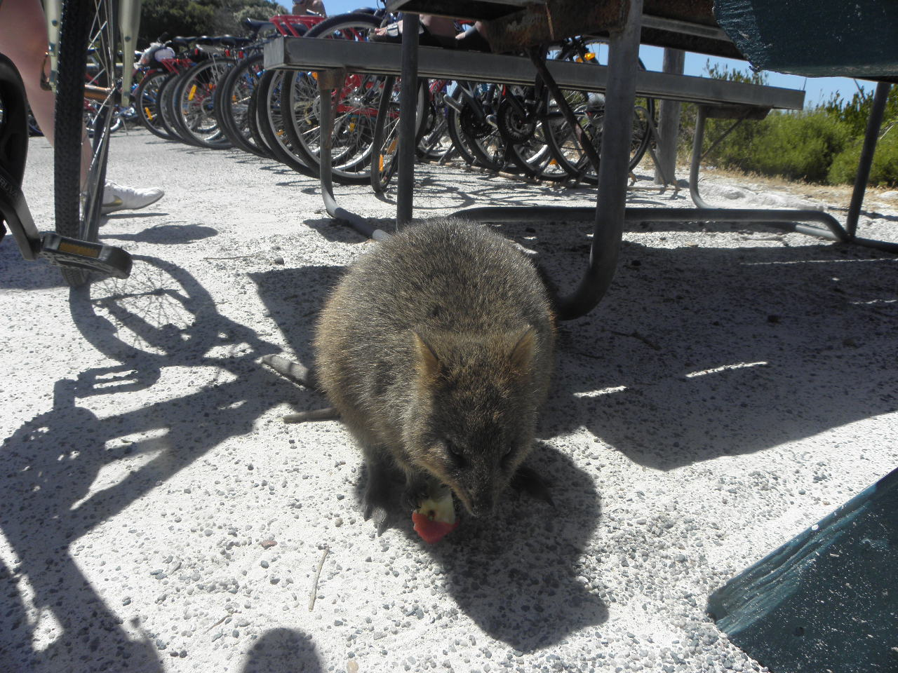 The island is full of quokkas.