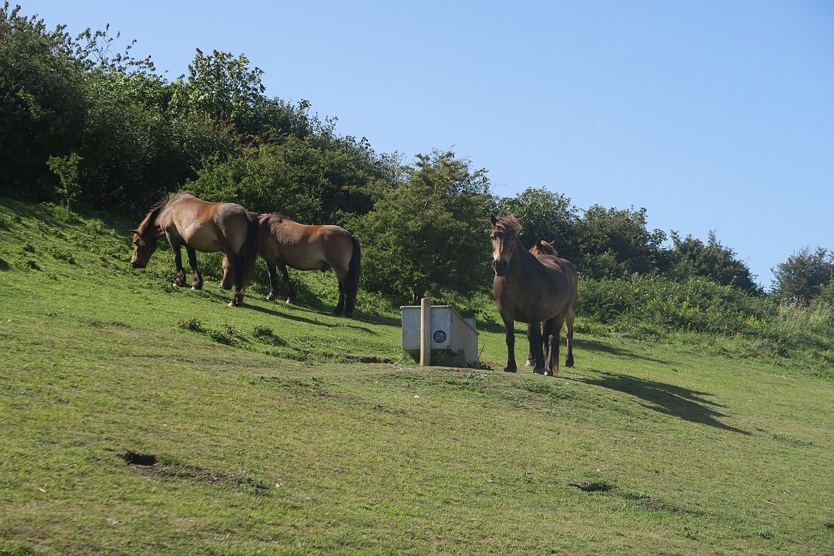 Horses at Dover Cliffs